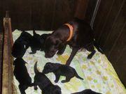 Welpen Labrador Berner Sennen Mischlinge