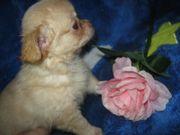 Wunderschöne Chihuahua Babys