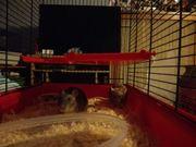 2 niedliche Ratten