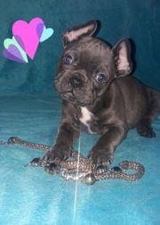 Französische Bulldoggen Mädchen Blue Tan
