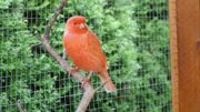 Rote Kanarienvögel.