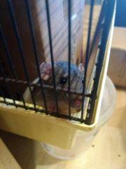 Dumbo Ratte Böckchen