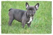 Französische Bulldoggen schoko