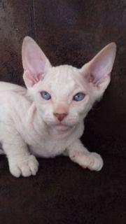 Katzenbaby Don-Sphynx