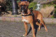 Aufgeschlossene Boxer Junghunde