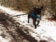 Französische Bulldogge Tyson,