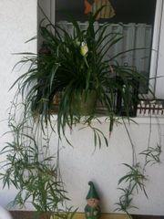 Graslilie bracket plant