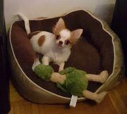 Bildhübscher Chihuahua Junge mit Ahnentafel