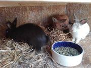 Zwerg-Kaninchen Zwerg-Widder Löwenkopf Hasen