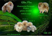 Zwergspitz Pomeranian Welpen VDH FCI