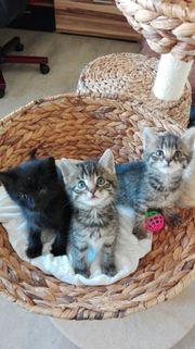 Kätzchen 8 Wochen