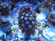 Meerwasser,Korallen,Korallenableger,