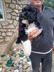 portugiesische Wasserhunde Welpen