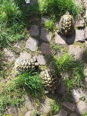 3 Landschildkröten