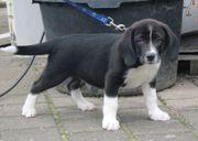 9 wunderschöne Beagle-