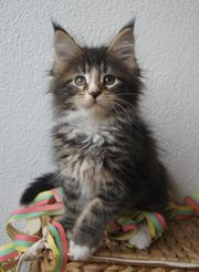 Maine Coon Baby,