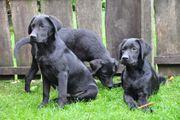 Neugierige Labrador Mix Welpen tolle