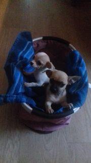 Chihuahua Welpen 10 5 Wochen