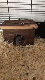 Ratten dringend abzugeben