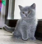 BKH-Kartäuser-Katzenbabys abzugeben