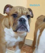 Welpen Englisch bulldog mit Pedigree