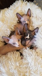 3Canadian Sphynx Kitten