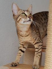 Savannah Kitten suchen ein schönes