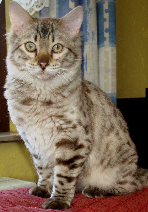 Wunderschöner seltener Cashmere Bengalkater in