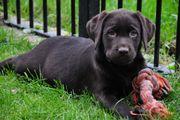 Bildschöne Labradorwelpen mit