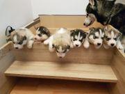 Huskys zu verkaufen