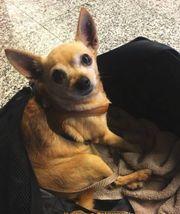 LISA, süße Chihuahua