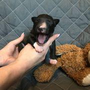 Miniatur Bullterrier Welpen mit VDH -