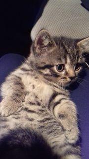 BKH Kitten black-