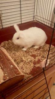 Schneeweißes Zwerg Kaninchen
