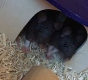 2 Weibliche Ratten