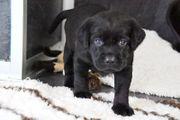 Schwarze Labrador Welpen
