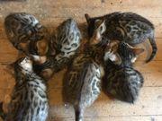 5-Bengal Kitten