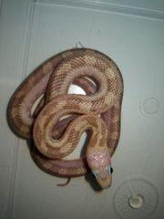 Sonstige Schlangen In Maulbronn Reptilien Terraristik Kaufen