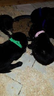 Labradorwelpen bildhübsch schwarz