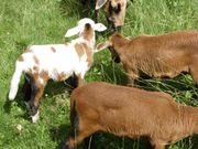 Barbados Schafe
