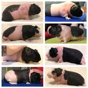 junge Skinny Pigs /