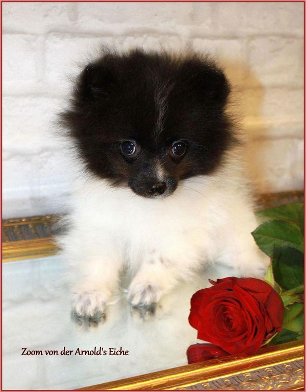 Zwergspitzrüdenwelpen schwarzgescheckt » Hunde
