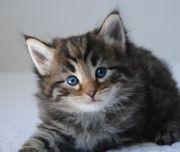 Norwegische Waldkatze Kitten