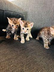 Reinrassige Bengal Kitten,