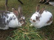 Kaninchen abzugeben