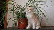 Maine Coon Kitten (