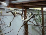 Kanarienvögel gelb-mosaik