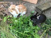 Zwei süße Kaninchen abzugeben Hasen