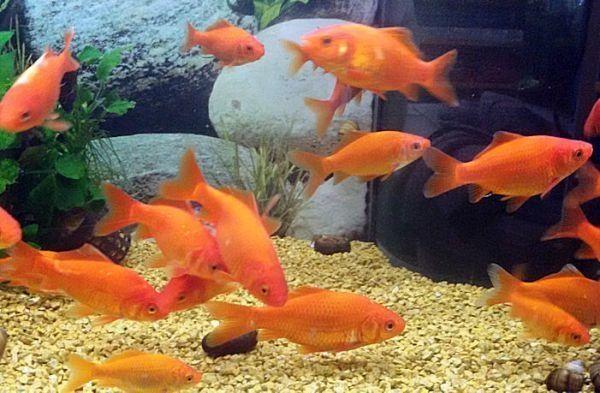 Goldfische im teich ein goldfisch in einem teich with for Goldfisch rassen