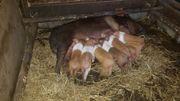 Ferkel Sattelschwein rotbunte